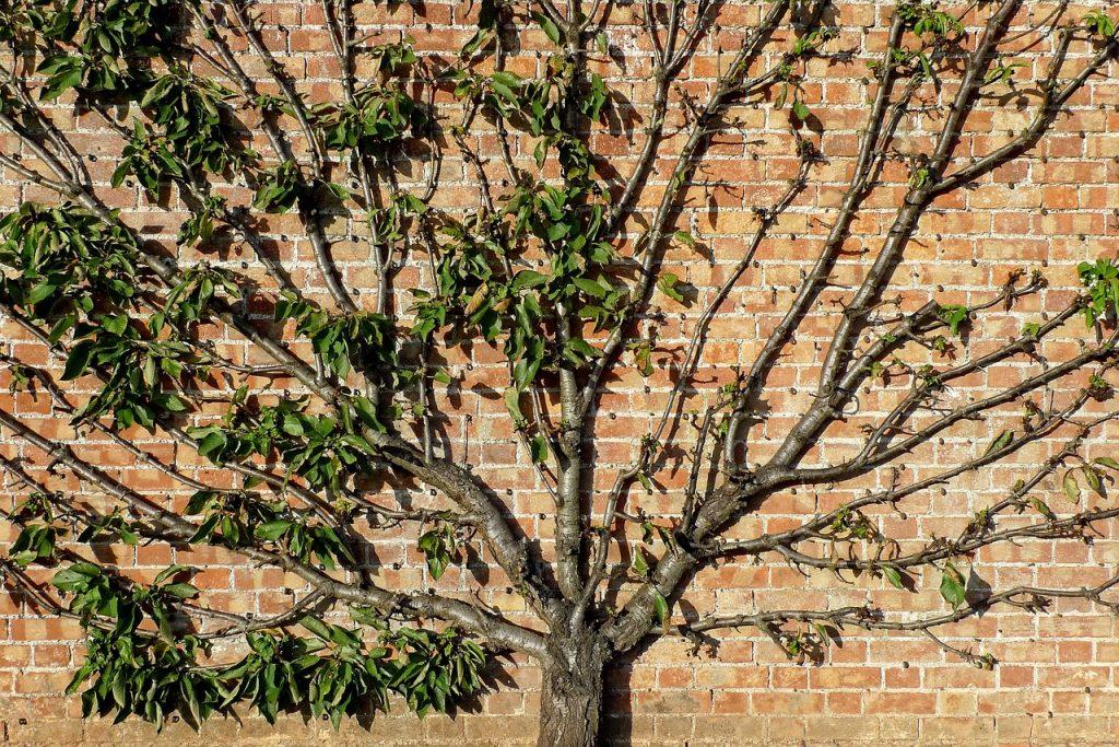 arbre colonnaire