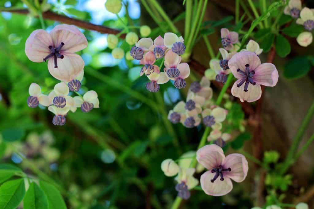 plante grimpante parfumée