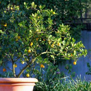 citronnier en pot