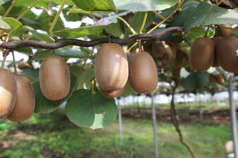 arbre kiwi